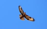 Águila Fuerteventura_1