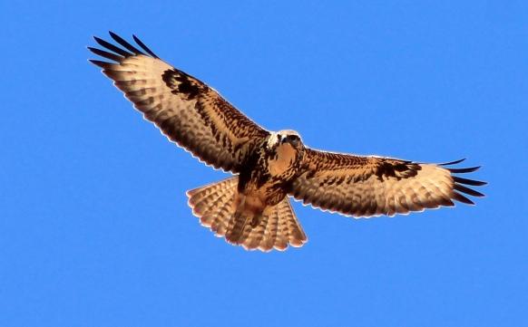 Águila Fuerteventura_2