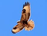 Águila Fuerteventura_3
