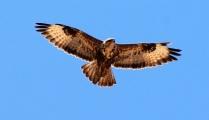 Águila Fuerteventura_4