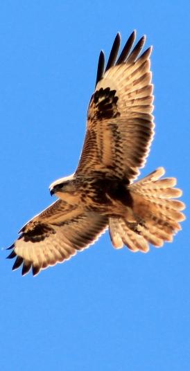 Águila Fuerteventura_5